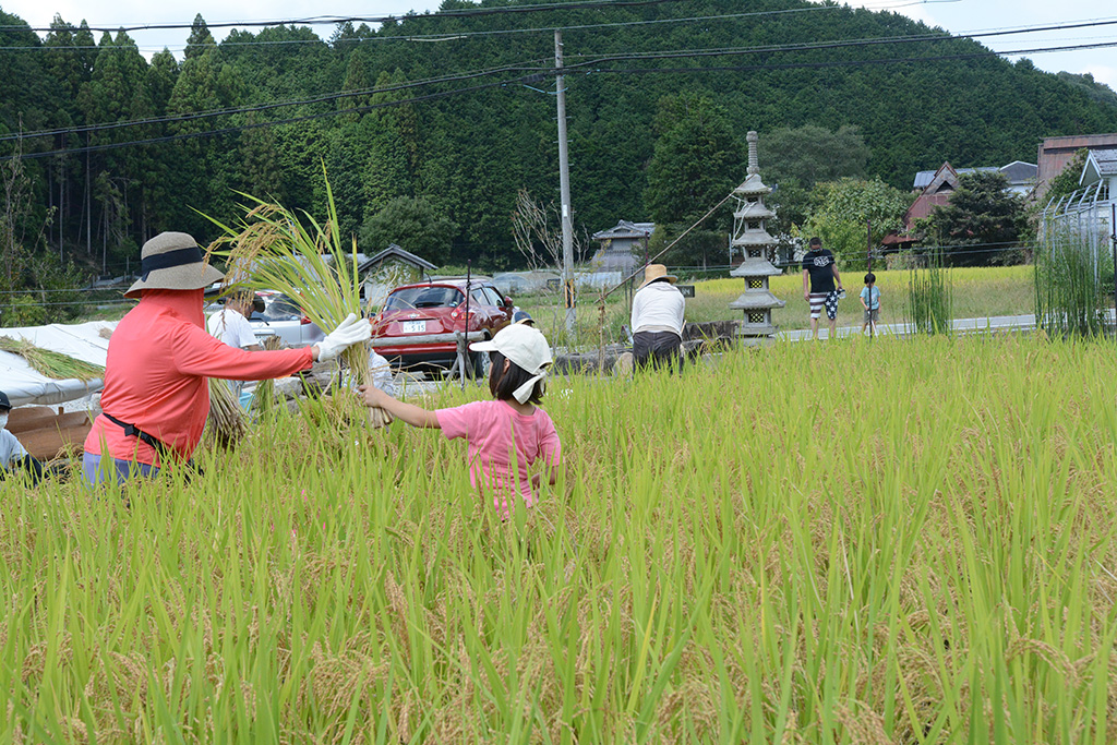 稲のリレー
